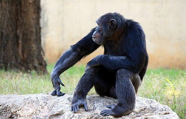 仕事 人間関係 うまくいかない ストレス 辛い 孤立 チンパンジー 手の指を岩に押し付けている